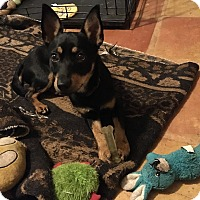 Adopt A Pet :: Oscar-Toy Breed - Tracy, CA