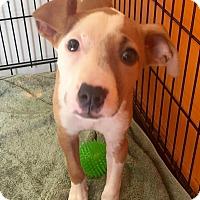 Adopt A Pet :: Pippy - Boca Raton, FL