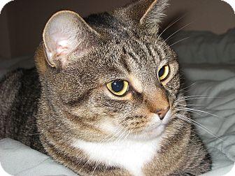 Domestic Shorthair Cat for adoption in N. Billerica, Massachusetts - Pretty Girl