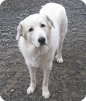 Great Pyrenees Dog for adoption in Rigaud, Quebec - Abbie