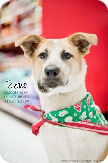 Shepherd (Unknown Type)/Australian Cattle Dog Mix Dog for adoption in Detroit, Michigan - Zeus-Adopted!