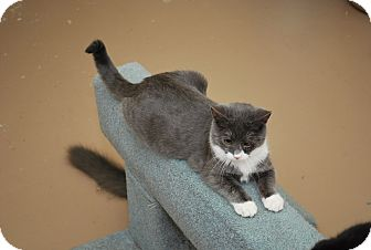 Domestic Shorthair Kitten for adoption in Trevose, Pennsylvania - Jewel