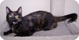 Domestic Shorthair Cat for adoption in Colorado Springs, Colorado - Jacstar