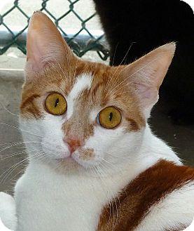 Domestic Shorthair Cat for adoption in Carmel, New York - Aaron