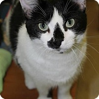 Domestic Shorthair Cat for adoption in Somerville, Massachusetts - Shaniqua (foster home LOWELL)