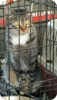 Domestic Shorthair Cat for adoption in Redlands, California - Hilldie (Barn Cat)