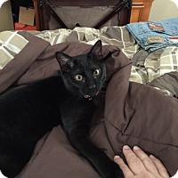 Domestic Shorthair Cat for adoption in Staten Island, New York - Midnight