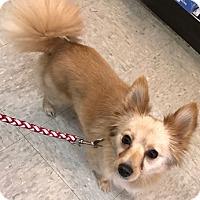 Adopt A Pet :: Princess - Mt. Prospect, IL