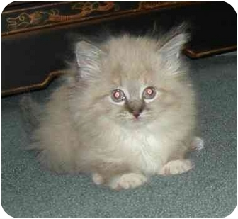 Himalayan Kitten for adoption in cincinnati, Ohio - Tawny