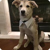 Adopt A Pet :: Grey - Pitt Meadows, BC