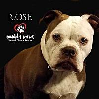 Adopt A Pet :: Rosie (American/English Bulldog) - Courtesy Post - Council Bluffs, IA