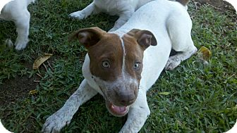 German Shorthaired Pointer/Labrador Retriever Mix Puppy for adoption in Bakersfield, California - Rosie