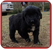 Bearded Collie/Labrador Retriever Mix Puppy for adoption in Allentown, Pennsylvania - Lana Loo