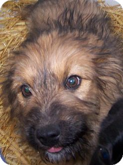 Airedale Terrier/Rottweiler Mix Puppy for adoption in Chewelah, Washington - Einstein