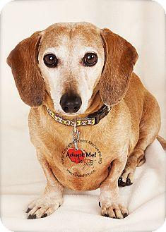 Dachshund Dog for adoption in Denver, Colorado - Bo