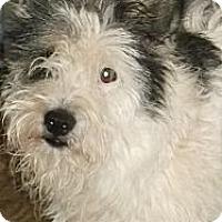 Adopt A Pet :: Terrier Mix Adult - Aloha, OR