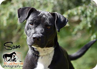 Labrador Retriever/Staffordshire Bull Terrier Mix Dog for adoption in Broadway, New Jersey - Sam