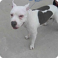 American Staffordshire Terrier Dog for adoption in San Antonio, Texas - BUDGIE