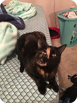 Domestic Shorthair Cat for adoption in Wasilla, Alaska - Cashmere