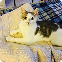 Adopt A Pet :: Abbey - Washington, DC
