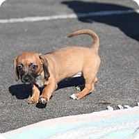 Adopt A Pet :: Stella Happy Little Pup will top off at 15 pounds - Rowayton, CT