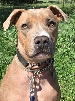 American Staffordshire Terrier Mix Dog for adoption in San Diego, California - Sonya