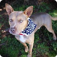Adopt A Pet :: Blu - Foster, RI