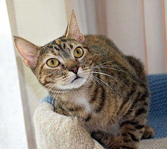 Domestic Shorthair Cat for adoption in Bristol, Connecticut - Clara