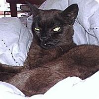 Burmese Cat for adoption in Palatine, Illinois - Rose