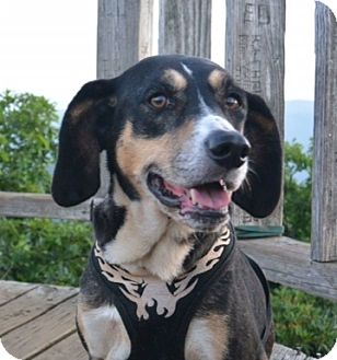 Treeing Walker Coonhound Mix Dog for adoption in Asheville, North Carolina - Biscuit