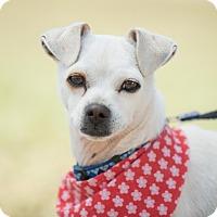 Fox Terrier (Toy)/Italian Greyhound Mix Dog for adoption in San Diego, California - Emmeth