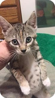Domestic Shorthair Kitten for adoption in Wichita, Kansas - Monkey