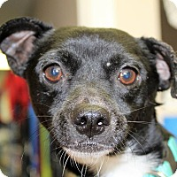 Adopt A Pet :: BRODY - Hurricane, UT