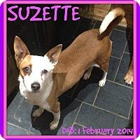Adopt A Pet :: SUZETTE - Jersey City, NJ
