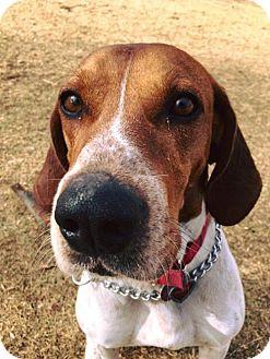 Hound (Unknown Type) Mix Dog for adoption in Denver, Colorado - Dusty