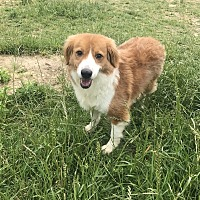 Nova Scotia Duck-Tolling Retriever Mix Dog for adoption in Jackson, Mississippi - Henry