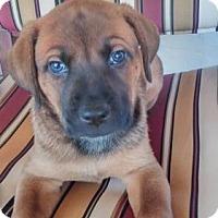 Adopt A Pet :: Tilly puppy 2 -17 Manny - Lithia, FL