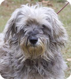 Schnauzer (Standard) Mix Dog for adoption in Gainesville, Florida - Chewey