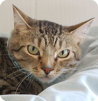 Domestic Mediumhair Cat for adoption in Hot Springs, Arkansas - Cash