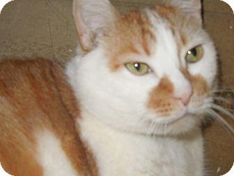 Domestic Shorthair Cat for adoption in Medina, Ohio - Gotti