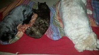 Calico Cat for adoption in Livonia, Michigan - Smudge
