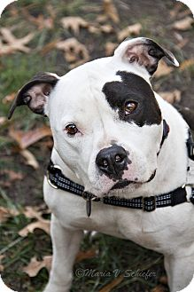 American Bulldog/Pit Bull Terrier Mix Dog for adoption in Windsor, Virginia - Nyla