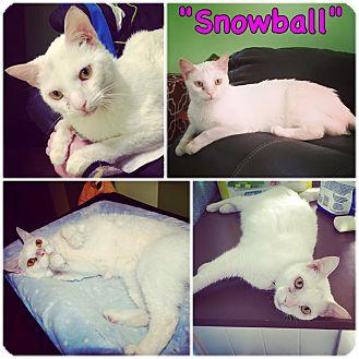 Domestic Mediumhair Cat for adoption in Salisbury, North Carolina - Snowball