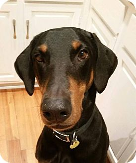 Doberman Pinscher Dog for adoption in Fort Worth, Texas - Chase