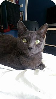 Russian Blue Cat for adoption in San Clemente, California - NEMO