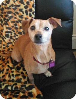 Chihuahua/Dachshund Mix Dog for adoption in Mastic Beach, New York - DAISY !!