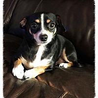Adopt A Pet :: Mickey Mouse - Los Alamitos, CA