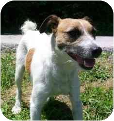 Jack Russell Terrier Dog for adoption in Omaha, Nebraska - Andy/Maverick
