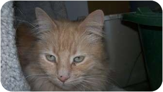 Domestic Longhair Cat for adoption in Kingston, Washington - Dancer