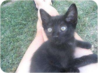 Domestic Shorthair Cat for adoption in Fresno, California - Gregor